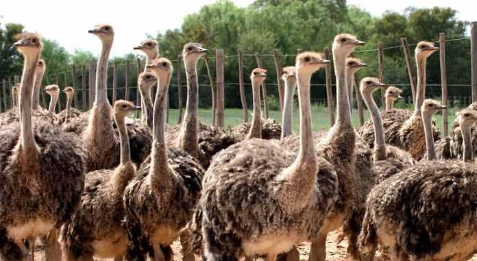 ostrich farming business in nigeria