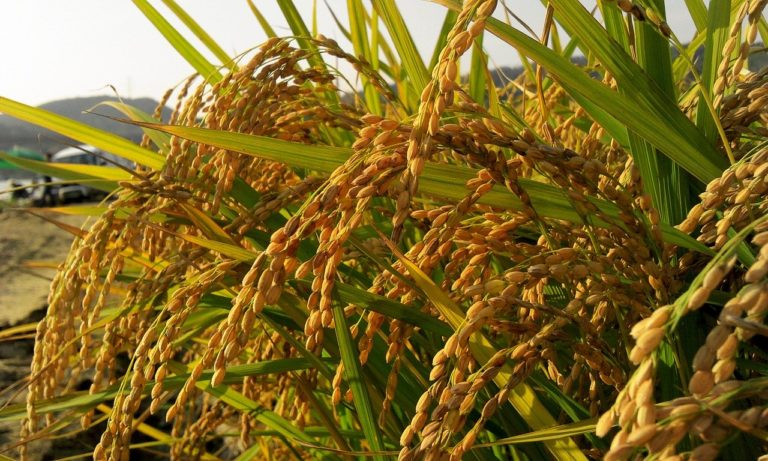 Rice Farming Business in Nigeria – Everything You Need to Start